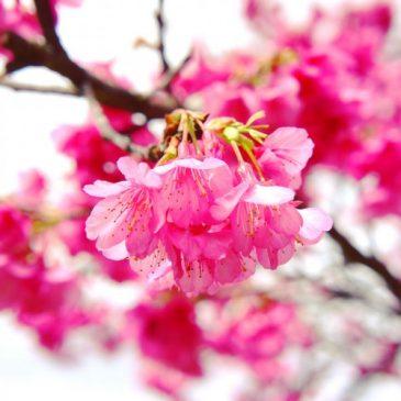 八重岳の桜🌸